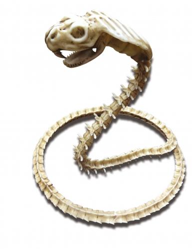 Cobra skelet decoratie